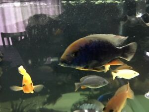 sulphur head cichlid male for sell