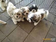 maltese shitzu puppy or similar Preston Darebin Area Preview