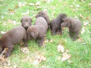 Chiots labrador brun chocolat