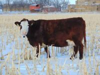 Bred Cow Sale at the Calgary Stockyards Feb 4th