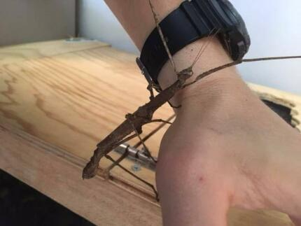 crowned and goliath stick insects for sale