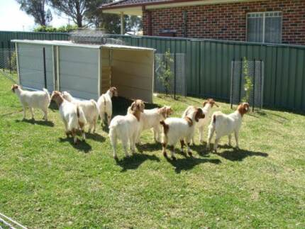 baby goats and all size goats for sale Cobbitty Camden Area Preview