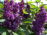 LILAC Tree or Large Shrub plant, deep purple scented flowers, Charles Joly