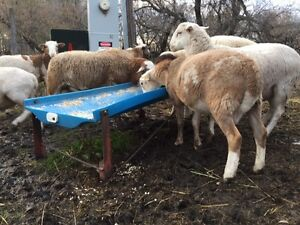 For Sale Katahdin Ram Lambs Regina Regina Area image 2