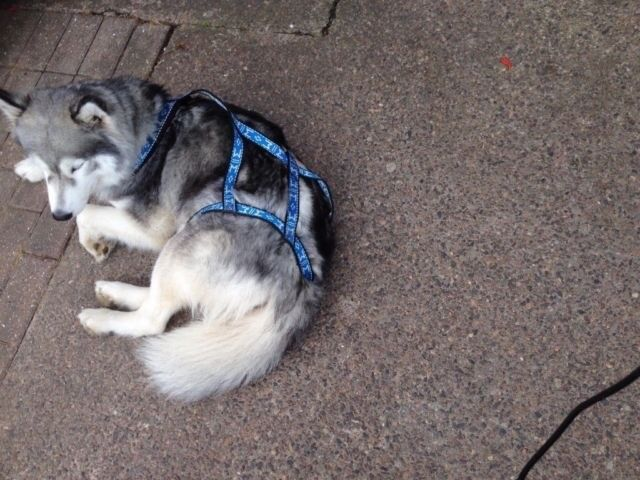 huskie harness xl