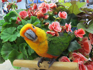 Handfed Jenday Conures
