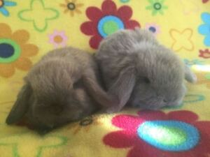 Baby Purebred Holland Lops Bunnies