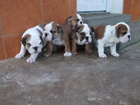 English Bulldog Puppies ready to go