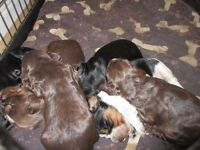 Beautiful litter of Cocker Spaniel puppies
