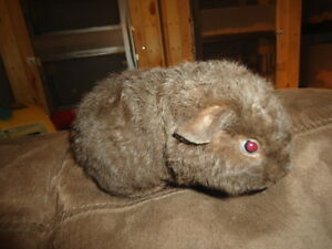 Cochon d'Inde teddy chocolat mâle