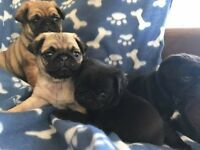 4 x gorgeous pug puppies (all boys)
