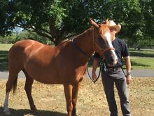 QH Mare 14.3 hands Carbrook Logan Area Preview