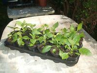 Used, Dahlia Plants for sale  Hessle, East Yorkshire