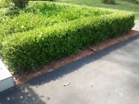 Box hedge plants all 400mm