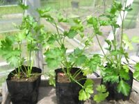 parsley plants in small pots ready to plant out 40p each - southbourne