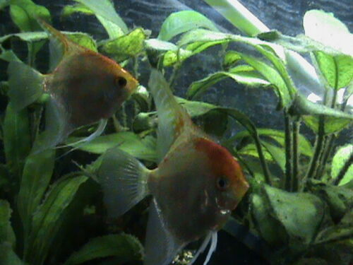 4 Ghost Gold Angelfish Pterophyllum Scalare Exotic Live freshwater Tropical Fish