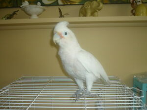 BEAUTIFUL GOFFIN COCKATOO / CACATOES GOFFIN MANIPULABLE