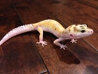 Female White & Yellow Leopard Gecko het RADAR
