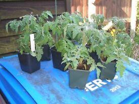 Tomato plants - Mini Bel