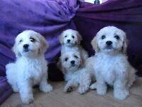 Cavachon Puppies gold and cream