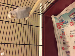 budgie with cage