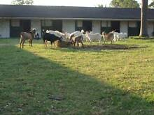 goats for sale different breeds ages and sizes ALWAYS AVAILABLE Cobbitty Camden Area Preview