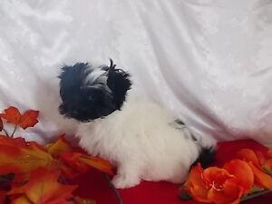 Havanese Pups  CKC Reg.