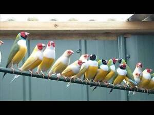 Finches for sale Murray Bridge Murray Bridge Area Preview