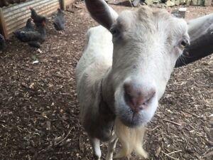 Sanaan dairy goat for sale Gerringong Kiama Area Preview