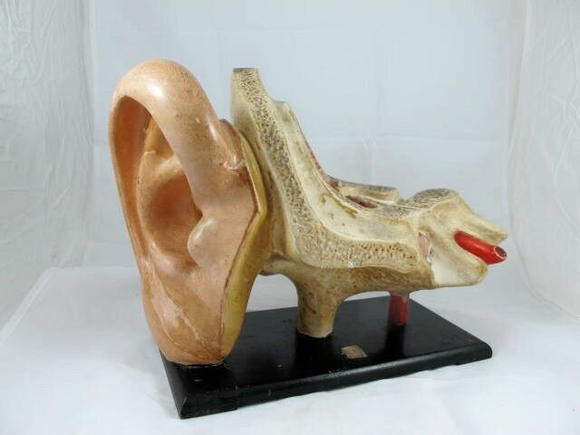 ANATOMICAL MODEL OF AN EAR C 1920