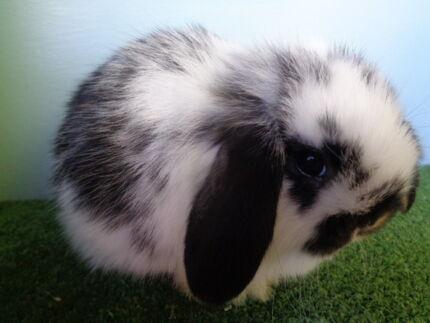 Mini Lops Rabbits Portland Glenelg Area Preview