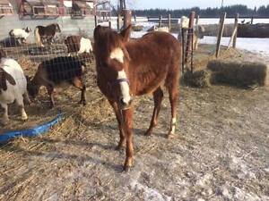 welsh/paint filly for sale PRICE REDUCED