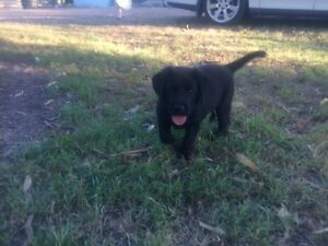 purebred Labrador pups East Maitland Maitland Area Preview