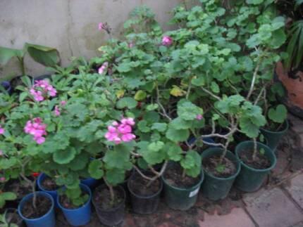 Garanium plants for sale