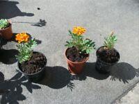 Marigold plant . Small pot