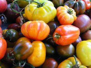 Organic Heirloom Tomato Plant Sale – 73 Varieties