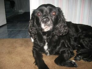 Wanted Cocker Spaniel Or King Charles Cross