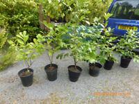 Garden hedge plants trees Laurel