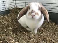 Beautiful Lop Eared Rabbit - Free To A Good Home