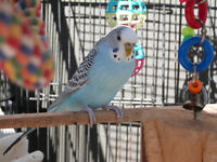 Two Budgies for sale with aviary cage