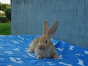 Gorgeous Purebreed/Pedigreed Fawn Flemish Giant Bunny For Sale