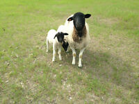 Registered Dorper Ram and 2 ewes 2 lambs