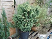 Large conifer tree in pot.