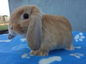 Beautiful Purebreed Orange Holland Lop Bunny For Sale