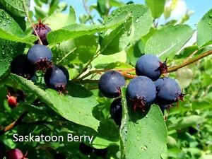 HASKAP, CHERRY AND SASKATOON BERRY PLANTS/TREES