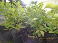 Laurel hedge plants Free delivery Aviemore, Grantown on Spey area.