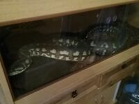Much loved carpet Pythons 1 male 1 female with their own setup and vivariums