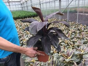 10 Plants Cordyline fruticosa  Red Beauty-  tissue culture raised healthy plants