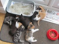 Seven adorable kittens available, 4 this weekend 3 next weekend