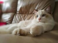 Lovely, pedigree ragdoll cat READY NOW